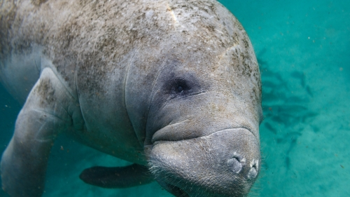 Photo of a gray manatee in teal water