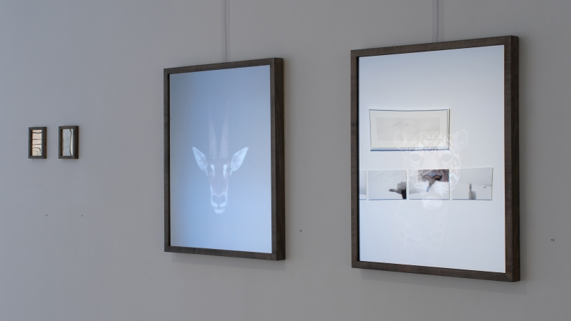 Image shows two photos, one is an ibex the other isn't visible on a side wall and a partial photo on a back wall.